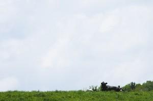 自分らしく生きる牛