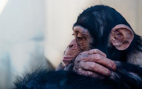 人と関わりたくないチンパンジー