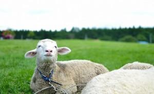 性格を変えたい羊