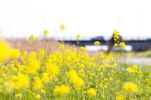 動揺する菜の花
