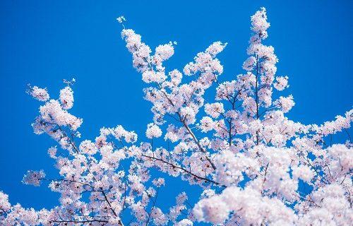 欝は甘えかもそんなことより桜