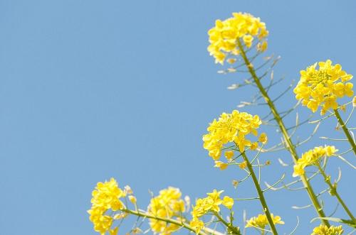 愛着障害菜の花