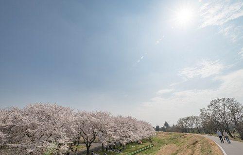 必要とされたい桜