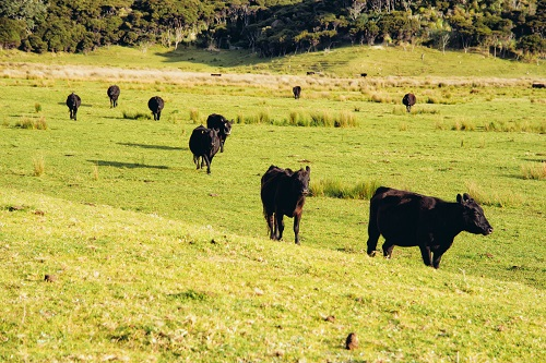 前にいる牛が勝ち優越感