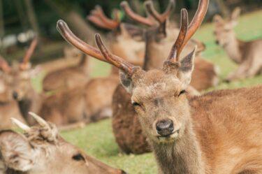 意地を張る強がる鹿